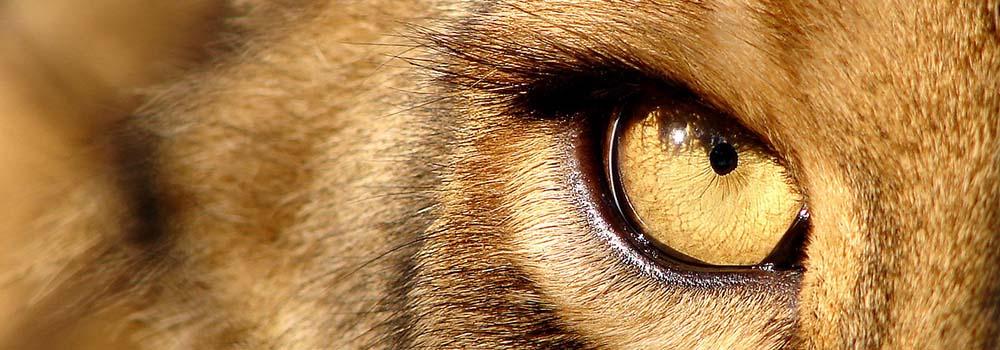 lionstare